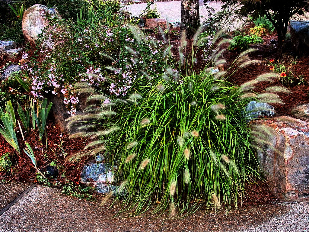 Fountain grass for Fountain grass for shade