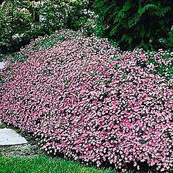 Mediterraneum pinks mediterranean pinks mightylinksfo