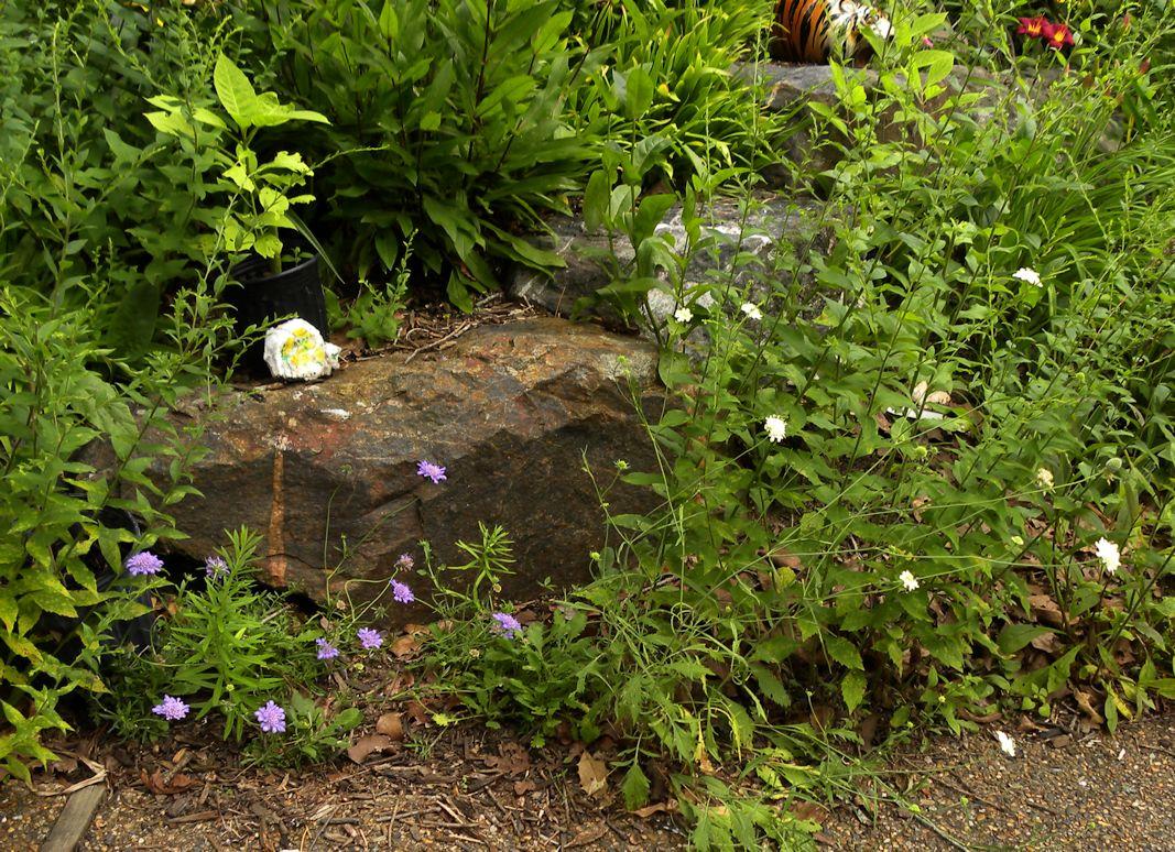 Scabiosa Pincushion Flower